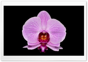 Orchid Arrangements HD Wide Wallpaper for Widescreen