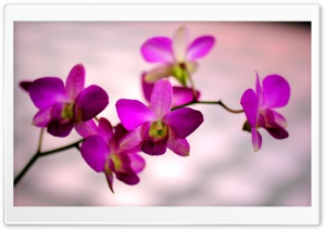 Orchid Color HD Wide Wallpaper for Widescreen