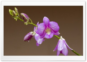 Orchid Drops On Petals HD Wide Wallpaper for Widescreen