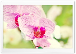 Orchid Flower HD Wide Wallpaper for Widescreen