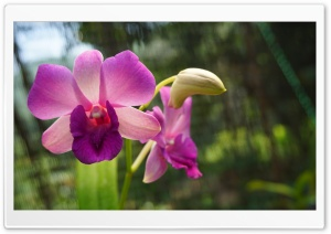 Orchid Flower Ultra HD Wallpaper for 4K UHD Widescreen desktop, tablet & smartphone