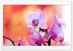 Orchid Flowers HD Wide Wallpaper for Widescreen