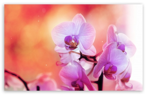 Orchid Flowers HD wallpaper for Wide 16:10 5:3 Widescreen WHXGA WQXGA WUXGA WXGA WGA ; HD 16:9 High Definition WQHD QWXGA 1080p 900p 720p QHD nHD ; Standard 4:3 5:4 3:2 Fullscreen UXGA XGA SVGA QSXGA SXGA DVGA HVGA HQVGA devices ( Apple PowerBook G4 iPhone 4 3G 3GS iPod Touch ) ; Tablet 1:1 ; iPad 1/2/Mini ; Mobile 4:3 5:3 3:2 16:9 5:4 - UXGA XGA SVGA WGA DVGA HVGA HQVGA devices ( Apple PowerBook G4 iPhone 4 3G 3GS iPod Touch ) WQHD QWXGA 1080p 900p 720p QHD nHD QSXGA SXGA ; Dual 5:4 QSXGA SXGA ;