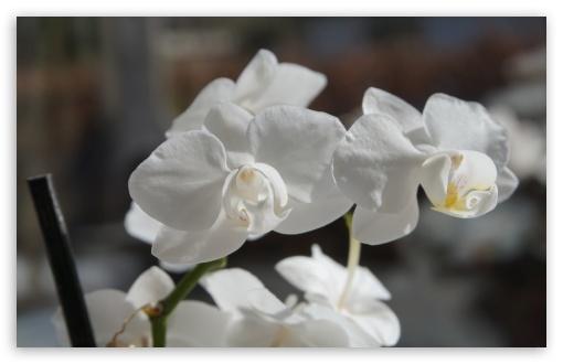 Download Orchidee HD Wallpaper