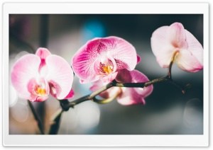 Orchids HD Wide Wallpaper for Widescreen