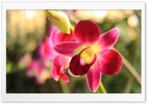 Orchids Ultra HD Wallpaper for 4K UHD Widescreen desktop, tablet & smartphone