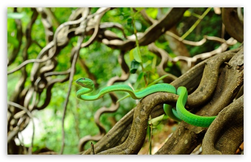 Oriental Vine Snake UltraHD Wallpaper for Wide 16:10 5:3 Widescreen WHXGA WQXGA WUXGA WXGA WGA ; 8K UHD TV 16:9 Ultra High Definition 2160p 1440p 1080p 900p 720p ; Standard 4:3 5:4 3:2 Fullscreen UXGA XGA SVGA QSXGA SXGA DVGA HVGA HQVGA ( Apple PowerBook G4 iPhone 4 3G 3GS iPod Touch ) ; Smartphone 5:3 WGA ; Tablet 1:1 ; iPad 1/2/Mini ; Mobile 4:3 5:3 3:2 16:9 5:4 - UXGA XGA SVGA WGA DVGA HVGA HQVGA ( Apple PowerBook G4 iPhone 4 3G 3GS iPod Touch ) 2160p 1440p 1080p 900p 720p QSXGA SXGA ; Dual 16:10 5:3 4:3 5:4 WHXGA WQXGA WUXGA WXGA WGA UXGA XGA SVGA QSXGA SXGA ;
