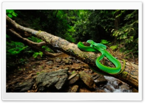 Oriental Whip Snake HD Wide Wallpaper for Widescreen