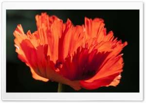 Ornamental Poppy HD Wide Wallpaper for Widescreen