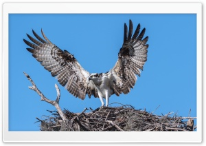 Osprey Bird Nest HD Wide Wallpaper for Widescreen