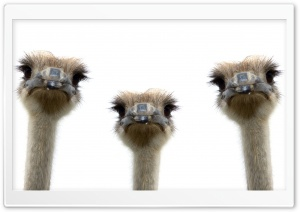 Ostriches HD Wide Wallpaper for Widescreen