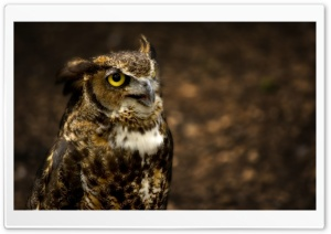 Owl HD Wide Wallpaper for Widescreen