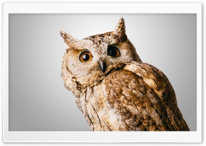 Owl Gray Ultra HD Wallpaper for 4K UHD Widescreen desktop, tablet & smartphone