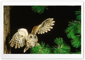 Owl In The Fir Tree HD Wide Wallpaper for Widescreen