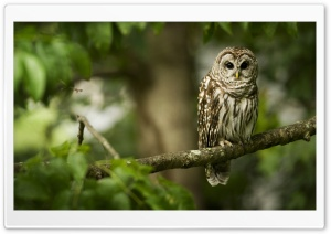 Owl On A Branch HD Wide Wallpaper for Widescreen