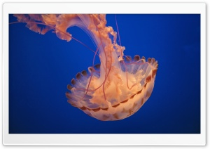 Pacific Sea Nettle HD Wide Wallpaper for 4K UHD Widescreen desktop & smartphone