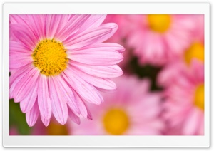Pale Pink Chrysanthemum in Full Bloom HD Wide Wallpaper for Widescreen