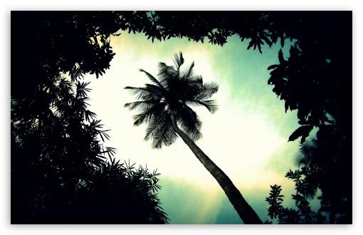 Palm Tree Top HD wallpaper for Wide 16:10 Widescreen WHXGA WQXGA WUXGA WXGA ; HD 16:9 High Definition WQHD QWXGA 1080p 900p 720p QHD nHD ; UHD 16:9 WQHD QWXGA 1080p 900p 720p QHD nHD ;