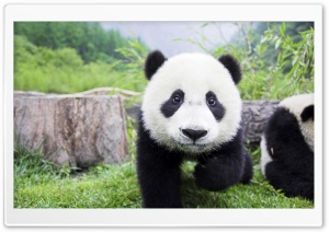 Panda Babies Interacting HD Wide Wallpaper for Widescreen