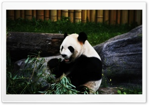 Panda Bear HD Wide Wallpaper for Widescreen