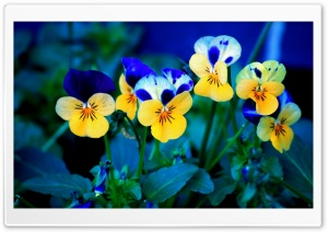 Pansies HD Wide Wallpaper for Widescreen