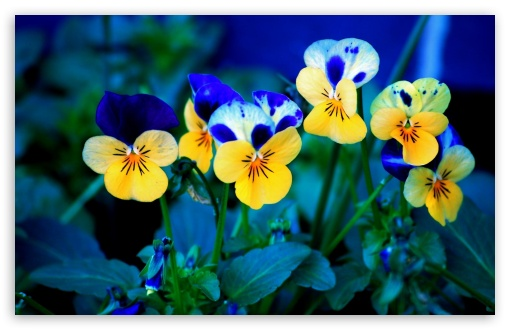 Pansies HD wallpaper for Standard 4:3 Fullscreen UXGA XGA SVGA ; Wide 16:10 5:3 Widescreen WHXGA WQXGA WUXGA WXGA WGA ; HD 16:9 High Definition WQHD QWXGA 1080p 900p 720p QHD nHD ; Other 3:2 DVGA HVGA HQVGA devices ( Apple PowerBook G4 iPhone 4 3G 3GS iPod Touch ) ; Mobile VGA WVGA iPhone iPad PSP - VGA QVGA Smartphone ( PocketPC GPS iPod Zune BlackBerry HTC Samsung LG Nokia Eten Asus ) WVGA WQVGA Smartphone ( HTC Samsung Sony Ericsson LG Vertu MIO ) HVGA Smartphone ( Apple iPhone iPod BlackBerry HTC Samsung Nokia ) Sony PSP Zune HD Zen ;