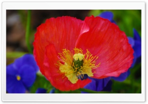 Pansies And Poppies HD Wide Wallpaper for Widescreen