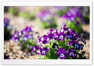 Pansies Close-Up HD Wide Wallpaper for Widescreen