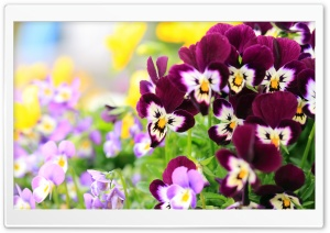 Pansies Flowers HD Wide Wallpaper for Widescreen