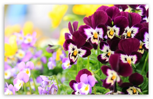 Pansies Flowers ❤ 4K UHD Wallpaper for Wide 16:10 5:3 Widescreen WHXGA WQXGA WUXGA WXGA WGA ; UltraWide 21:9 24:10 ; 4K UHD 16:9 Ultra High Definition 2160p 1440p 1080p 900p 720p ; UHD 16:9 2160p 1440p 1080p 900p 720p ; Standard 4:3 5:4 3:2 Fullscreen UXGA XGA SVGA QSXGA SXGA DVGA HVGA HQVGA ( Apple PowerBook G4 iPhone 4 3G 3GS iPod Touch ) ; Smartphone 16:9 3:2 5:3 2160p 1440p 1080p 900p 720p DVGA HVGA HQVGA ( Apple PowerBook G4 iPhone 4 3G 3GS iPod Touch ) WGA ; Tablet 1:1 ; iPad 1/2/Mini ; Mobile 4:3 5:3 3:2 16:9 5:4 - UXGA XGA SVGA WGA DVGA HVGA HQVGA ( Apple PowerBook G4 iPhone 4 3G 3GS iPod Touch ) 2160p 1440p 1080p 900p 720p QSXGA SXGA ; Dual 16:10 5:3 16:9 4:3 5:4 3:2 WHXGA WQXGA WUXGA WXGA WGA 2160p 1440p 1080p 900p 720p UXGA XGA SVGA QSXGA SXGA DVGA HVGA HQVGA ( Apple PowerBook G4 iPhone 4 3G 3GS iPod Touch ) ;