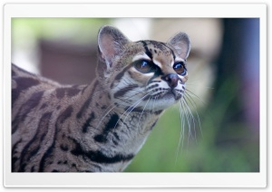 Pantanal Cat HD Wide Wallpaper for 4K UHD Widescreen desktop & smartphone
