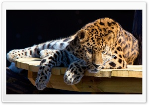 Panthera Pardus Ultra HD Wallpaper for 4K UHD Widescreen desktop, tablet & smartphone