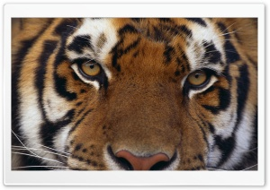Panthera Tigris HD Wide Wallpaper for Widescreen