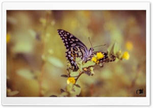Papilio Elephenor Butterfly HD Wide Wallpaper for Widescreen