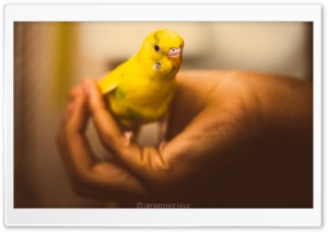Parakeet HD Wide Wallpaper for Widescreen