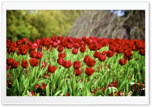 Parrot Tulips HD Wide Wallpaper for Widescreen