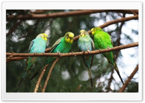 Parrots On A Branch HD Wide Wallpaper for Widescreen