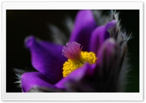 Pasque Flower HD Wide Wallpaper for Widescreen