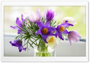 Pasque Flowers HD Wide Wallpaper for Widescreen