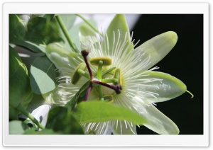Passion Flower HD Wide Wallpaper for Widescreen