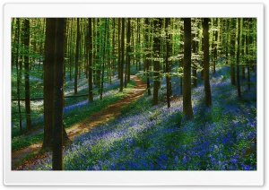 Path Forest, Bluebells, Spring Ultra HD Wallpaper for 4K UHD Widescreen desktop, tablet & smartphone