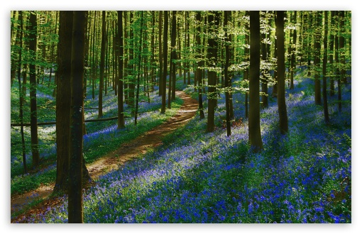 Path Forest, Bluebells, Spring UltraHD Wallpaper for Wide 16:10 5:3 Widescreen WHXGA WQXGA WUXGA WXGA WGA ; UltraWide 21:9 24:10 ; 8K UHD TV 16:9 Ultra High Definition 2160p 1440p 1080p 900p 720p ; UHD 16:9 2160p 1440p 1080p 900p 720p ; Standard 4:3 5:4 3:2 Fullscreen UXGA XGA SVGA QSXGA SXGA DVGA HVGA HQVGA ( Apple PowerBook G4 iPhone 4 3G 3GS iPod Touch ) ; Smartphone 16:9 3:2 5:3 2160p 1440p 1080p 900p 720p DVGA HVGA HQVGA ( Apple PowerBook G4 iPhone 4 3G 3GS iPod Touch ) WGA ; Tablet 1:1 ; iPad 1/2/Mini ; Mobile 4:3 5:3 3:2 16:9 5:4 - UXGA XGA SVGA WGA DVGA HVGA HQVGA ( Apple PowerBook G4 iPhone 4 3G 3GS iPod Touch ) 2160p 1440p 1080p 900p 720p QSXGA SXGA ; Dual 16:10 5:3 16:9 4:3 5:4 3:2 WHXGA WQXGA WUXGA WXGA WGA 2160p 1440p 1080p 900p 720p UXGA XGA SVGA QSXGA SXGA DVGA HVGA HQVGA ( Apple PowerBook G4 iPhone 4 3G 3GS iPod Touch ) ;