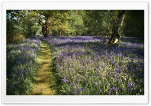 Path, Spring Bluebells Flowers, Beautiful Forest Ultra HD Wallpaper for 4K UHD Widescreen desktop, tablet & smartphone