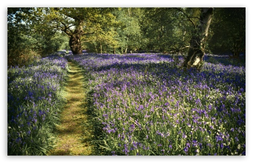 Path, Spring Bluebells Flowers, Beautiful Forest UltraHD Wallpaper for Wide 16:10 5:3 Widescreen WHXGA WQXGA WUXGA WXGA WGA ; UltraWide 21:9 24:10 ; 8K UHD TV 16:9 Ultra High Definition 2160p 1440p 1080p 900p 720p ; UHD 16:9 2160p 1440p 1080p 900p 720p ; Standard 4:3 5:4 3:2 Fullscreen UXGA XGA SVGA QSXGA SXGA DVGA HVGA HQVGA ( Apple PowerBook G4 iPhone 4 3G 3GS iPod Touch ) ; Smartphone 16:9 3:2 5:3 2160p 1440p 1080p 900p 720p DVGA HVGA HQVGA ( Apple PowerBook G4 iPhone 4 3G 3GS iPod Touch ) WGA ; Tablet 1:1 ; iPad 1/2/Mini ; Mobile 4:3 5:3 3:2 16:9 5:4 - UXGA XGA SVGA WGA DVGA HVGA HQVGA ( Apple PowerBook G4 iPhone 4 3G 3GS iPod Touch ) 2160p 1440p 1080p 900p 720p QSXGA SXGA ;