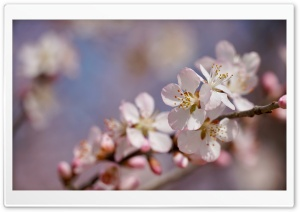 Peach Blossom 5K HD Wide Wallpaper for 4K UHD Widescreen desktop & smartphone