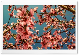 Peach Blossoms HD Wide Wallpaper for Widescreen