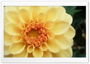 Peach Dahlia Ultra HD Wallpaper for 4K UHD Widescreen desktop, tablet & smartphone