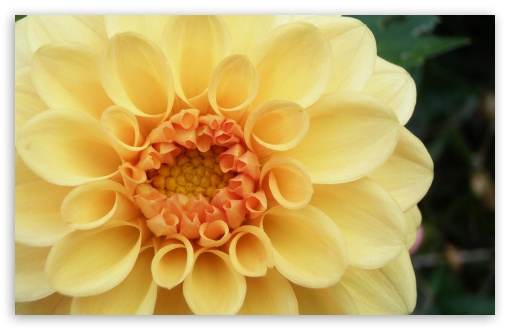 Peach Dahlia HD wallpaper for Wide 16:10 5:3 Widescreen WHXGA WQXGA WUXGA WXGA WGA ; HD 16:9 High Definition WQHD QWXGA 1080p 900p 720p QHD nHD ; Standard 4:3 5:4 3:2 Fullscreen UXGA XGA SVGA QSXGA SXGA DVGA HVGA HQVGA devices ( Apple PowerBook G4 iPhone 4 3G 3GS iPod Touch ) ; Tablet 1:1 ; iPad 1/2/Mini ; Mobile 4:3 5:3 3:2 16:9 5:4 - UXGA XGA SVGA WGA DVGA HVGA HQVGA devices ( Apple PowerBook G4 iPhone 4 3G 3GS iPod Touch ) WQHD QWXGA 1080p 900p 720p QHD nHD QSXGA SXGA ;
