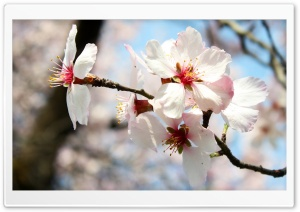 Peach Flower HD Wide Wallpaper for Widescreen