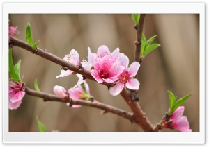 Peach Flowers HD Wide Wallpaper for Widescreen